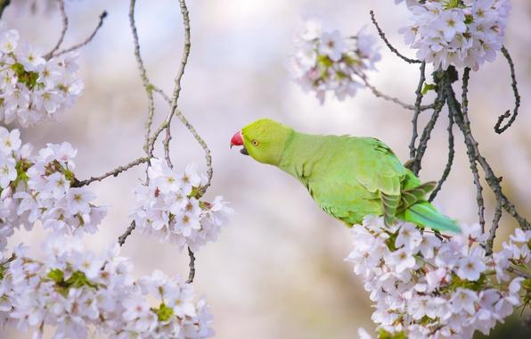 Картинка ветки, вишня, птица, попугай, цветение, цветки, Индийский кольчатый попугай, Ожереловый попугай Крамера