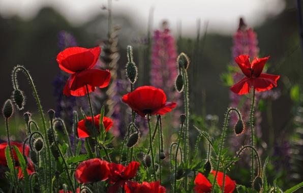 Картинка поле, небо, цветы, маки, вечер, лепестки, луг