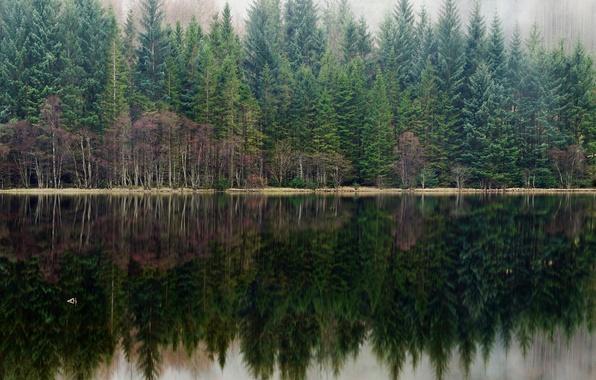 Картинка лес, туман, озеро, отражение, сосны