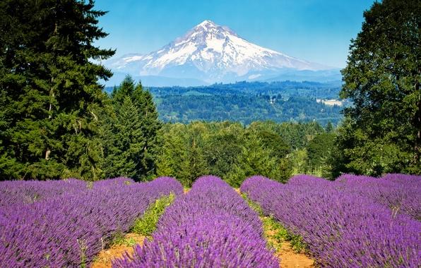 Картинка поле, деревья, гора, Орегон, Портленд, Oregon, Portland, лаванда, Mount Hood