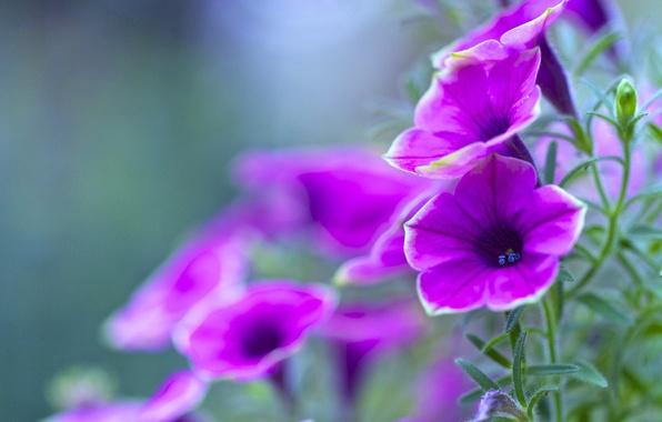 Картинка листья, природа, лепестки, сад, клумба, петуния
