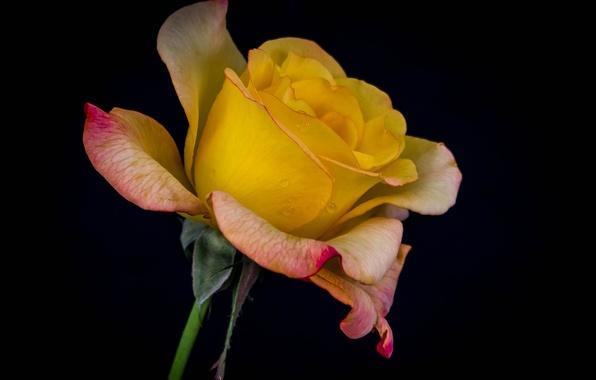 Картинка вода, капли, макро, роса, роза, лепестки, бутон