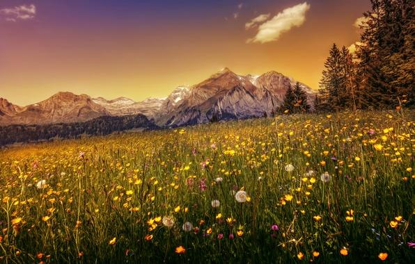 Картинка трава, деревья, цветы, горы, Швейцария, Альпы, hdr, одуванчики, леса, луга, лютики