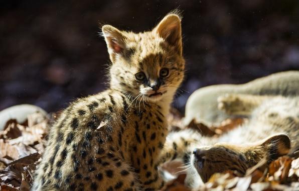 Картинка кошка, взгляд, листья, малыш, детёныш, котёнок, сервал, ©Tambako The Jaguar
