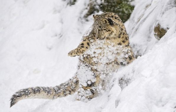 Картинка снег, прыжок, игра, хищник, склон, малыш, ирбис, снежный барс, детёныш, котёнок, дикая кошка, снежный леопард