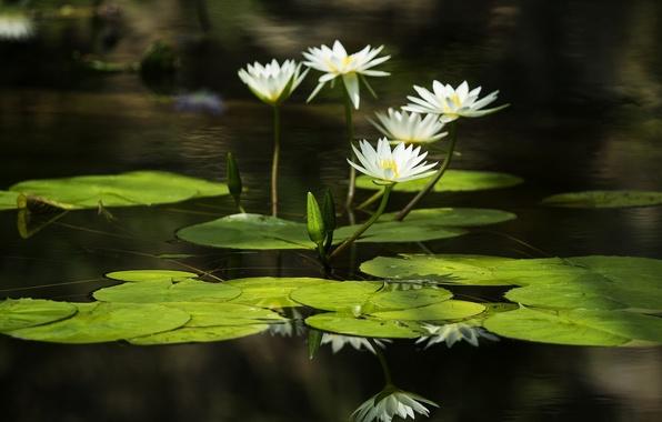 Картинка листья, вода, water, leaves, кувшинки, water lilies