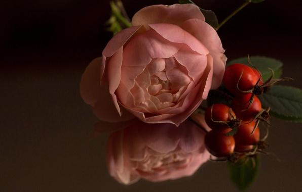 Картинка макро, отражение, роза, бутон, шиповник, плоды шиповника