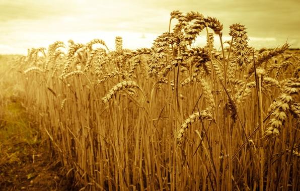 Картинка пшеница, поле, небо, солнце, макро, природа, фон, widescreen, обои, рожь, колоски, красиво, wallpaper, колосья, field, …