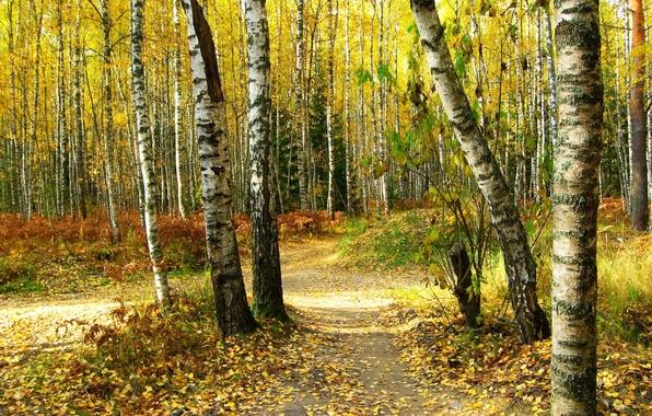 Картинка осень, лес, листья, деревья, природа, фото, тропа, березы
