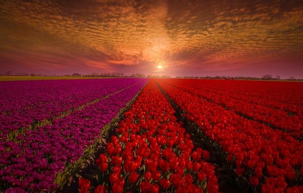 Картинка поле, небо, закат, цветы, природа, тюльпаны, красные, бутоны, Голландия