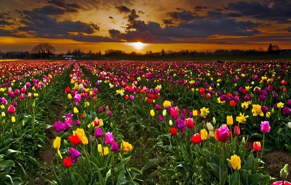 Картинка поле, небо, закат, цветы, тучи, тюльпаны, плантация