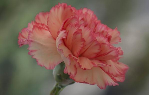 Картинка цветок, краски, лепестки, гвоздика