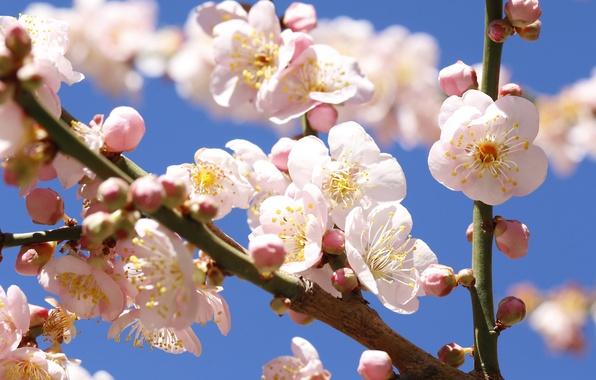 Картинка небо, цветы, дерево, ветка, весна, сад