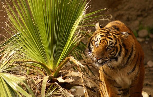 Картинка трава, глаза, листья, тигр, растение, сидит, смотрит, большое, напряженные