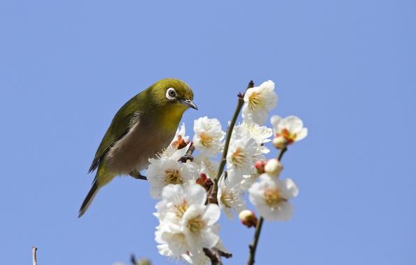 Картинка небо, цветы, ветки, птица, весна, лепестки, сакура, цветение