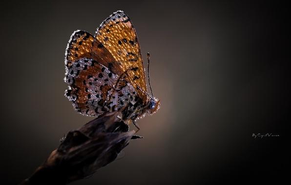 Картинка капли, макро, роса, бабочка, крылья, серый фон