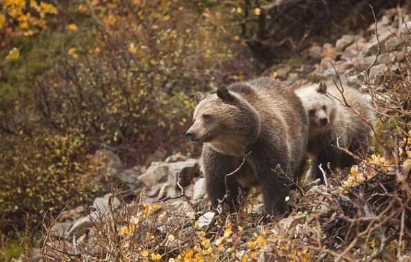 Картинка ветки, медведи, медвежонок, медведица
