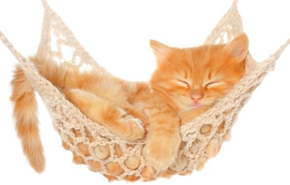 Картинка кошка, кот, отдых, сон, гамак, белый фон, котёнок
