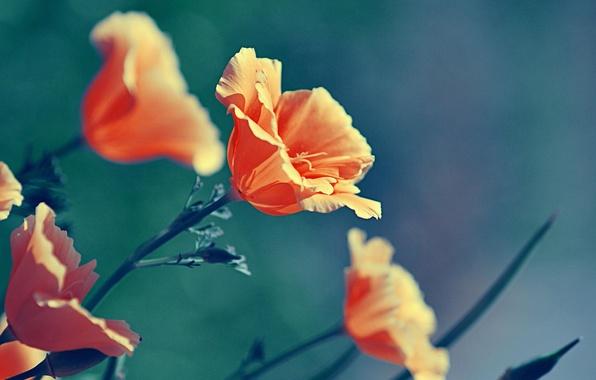 Картинка макро, цветы, природа, цвет, маки, растения, оранжевые