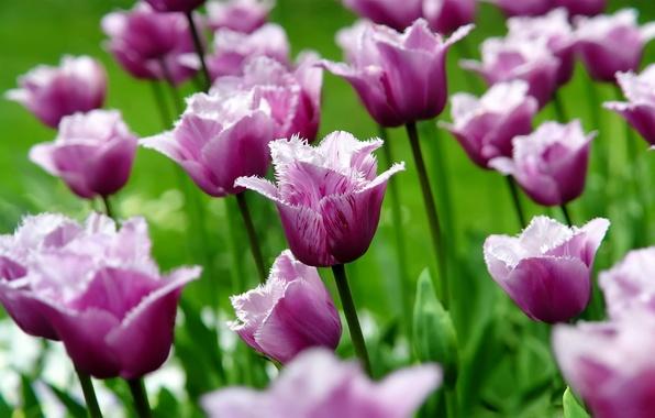 Картинка цветок, макро, цветы, природа, тюльпан, весна, лепестки, тюльпаны, бутоны