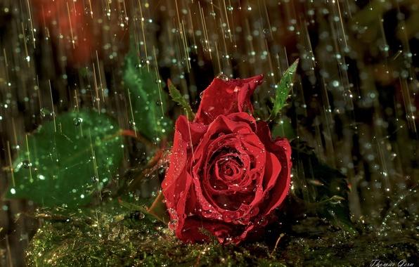 Картинка капли, макро, дождь, роза, бутон