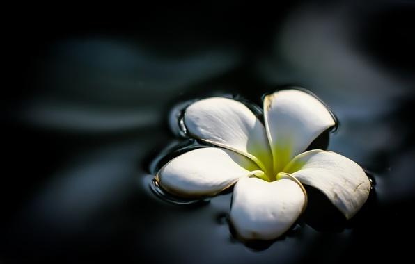 Картинка цветок, вода, лепестки, плюмерия