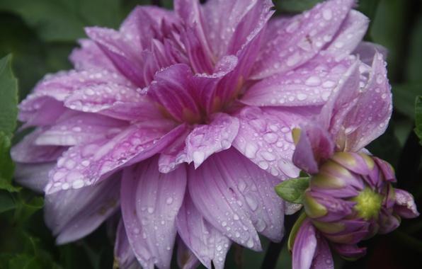 Картинка цветок, капли, макро, природа, фон, дождь, обои, растение, сад, деревня