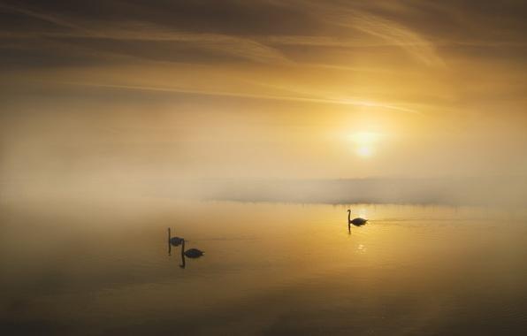 Картинка пейзаж, туман, озеро, утро, лебеди