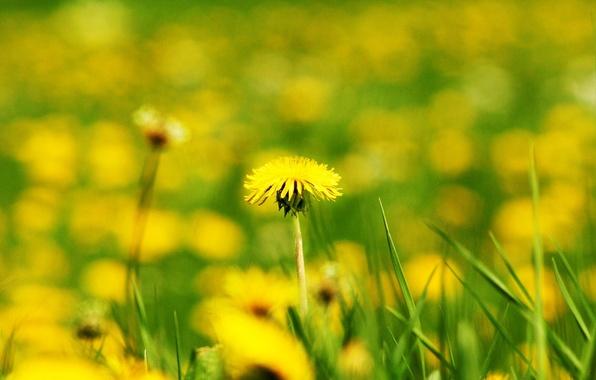 Картинка поле, цветок, цветы, желтый, фон, одуванчик, widescreen, обои, размытие, wallpaper, широкоформатные, background, боке, полноэкранные, HD …