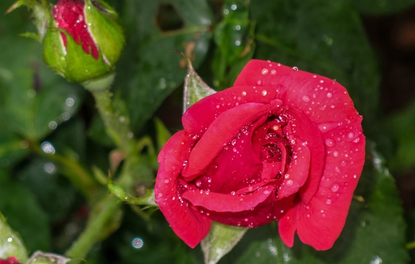 Фото обои капли, макро, роза, бутоны