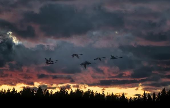 Картинка закат, птицы, природа, полёт, лебеди