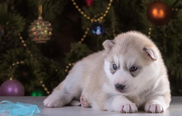 Картинка новый год, щенок, хаски, порода