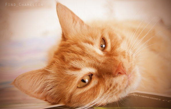 Картинка кот, сон, рыжий