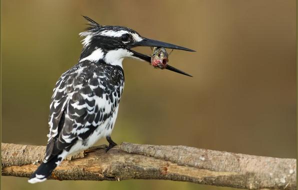 Картинка птица, еда, рыба, ветка, разноцветный, зимородок, улов