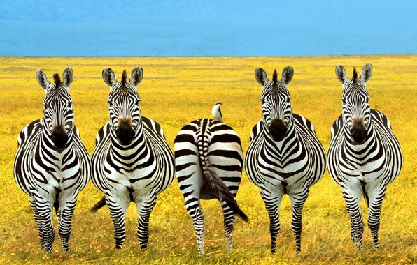 Картинки попа зебры — 8