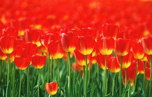 Картинка цветы, тюльпаны, красные, клумба