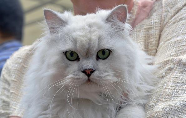 Картинка кошка, кот, взгляд, морда, пушистая