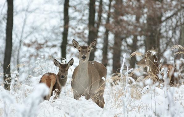 Картинка зима, лес, трава, снег, деревья, олени, боке