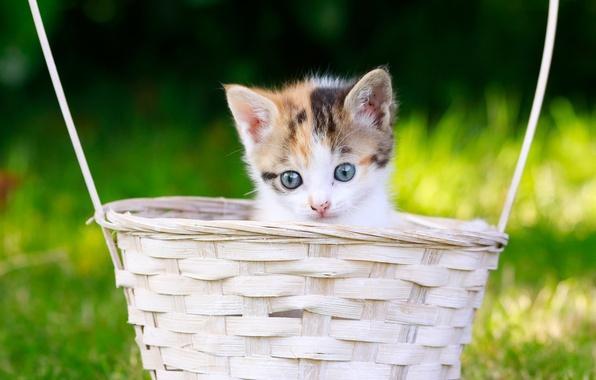 Картинка взгляд, корзина, малыш, мордочка, котёнок