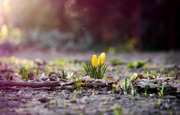 Картинка цветок, трава, листья, цветы, ветки, природа, земля, листва, весна, желтые, крокусы