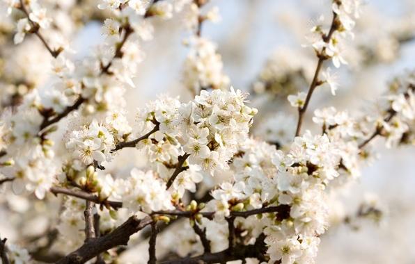 Картинка макро, цветы, ветки, вишня, нежность, красота, весна, лепестки, white, белые, цветение, flowers, beautiful nature wallpapers, …