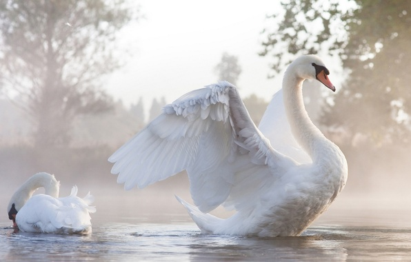 Картинка вода, туман, крылья, пара, лебеди