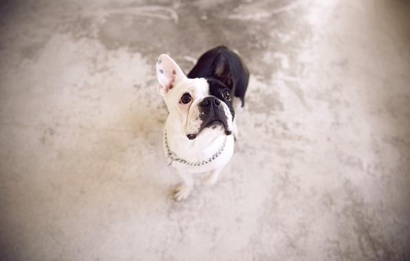 Картинка взгляд, фон, собака, Французский бульдог