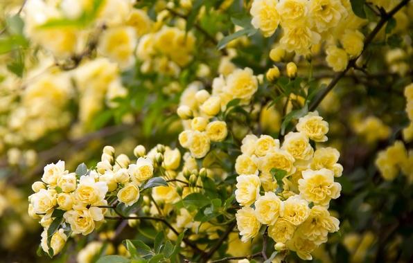 Картинка ветки, шиповник, цветение, цветки, Роза Бэнкс