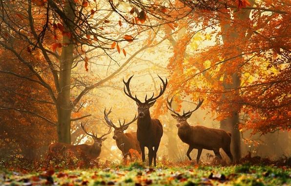 Картинка осень, лес, животные, желтые листья, рога, олени