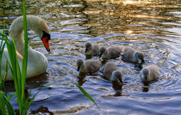 Картинка вода, птицы, природа, пруд, река, лебеди, красивые, белый лебедь
