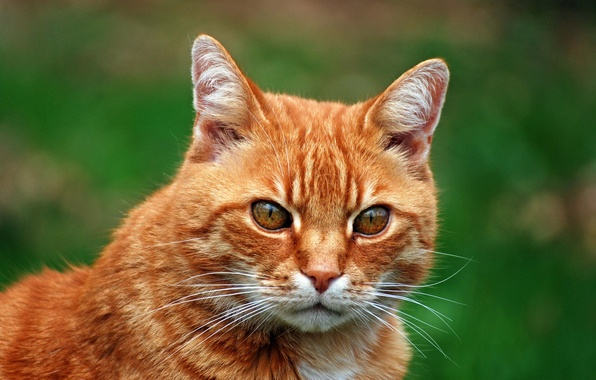 Картинка кот, фон, портрет, рыжий