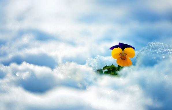 Картинка зима, цветок, снег