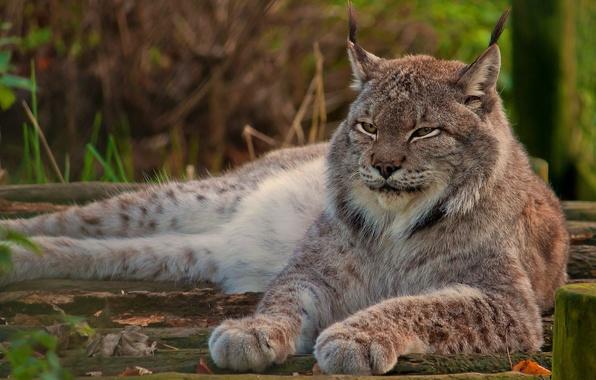 Картинка взгляд, морда, отдых, лапы, лежит, рысь, дикая кошка, смотрит, гордый, канадская