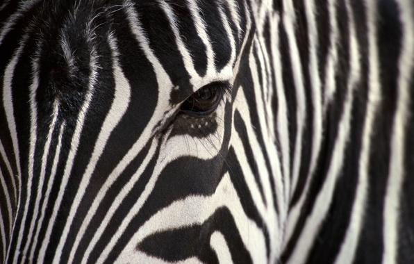 Картинка белый, полосы, черный, зебра